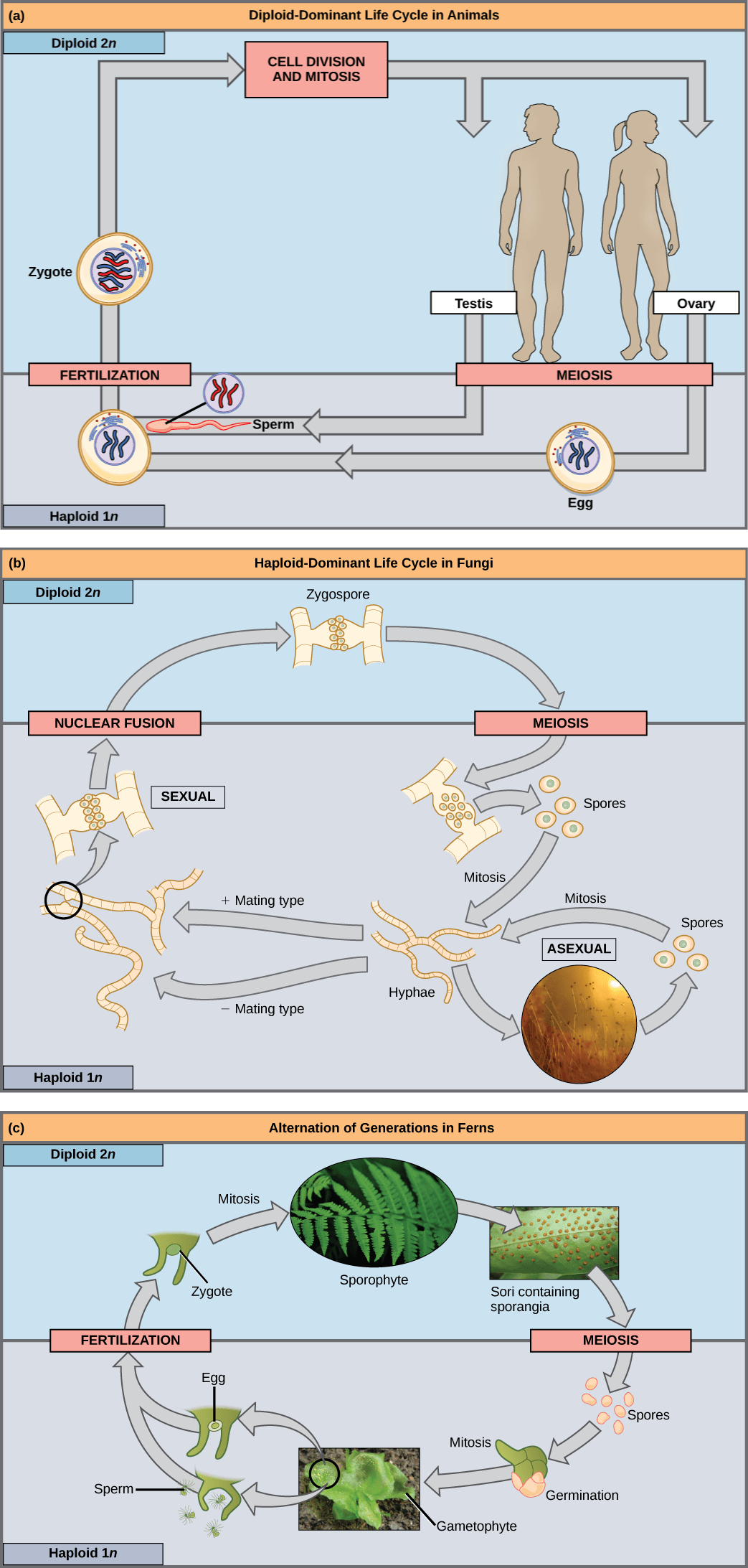 Part a shows the life cycle of animals. Through meiosis, adult males produce haploid (1n) sperm, and adult females produce haploid eggs. Upon fertilization, a diploid (2n) zygote forms, which grows into an adult through mitosis and cell division. Part b shows the life cycle of fungi. In fungi, the diploid (2n) zygospore undergoes meiosis to form haploid (1n) spores. Mitosis of the spores occurs to form hyphae. Hyphae can undergo asexual reproduction to form more spores, or they form plus and minus mating types that undergo nuclear fusion to form a zygospore. Part c shows the life cycle of fern plants. The diploid (2n) zygote undergoes mitosis to produce the sphorophyte, which is the familiar, leafy plant. Sporangia form on the underside of the leaves of the sphorophyte. Sporangia undergo meiosis to form haploid (1n) spores. The spores germinate and undergo mitosis to form a multicellular, leafy gametophyte. The gametophyte produces eggs and sperm. Upon fertilization, the egg and sperm form a diploid zygote