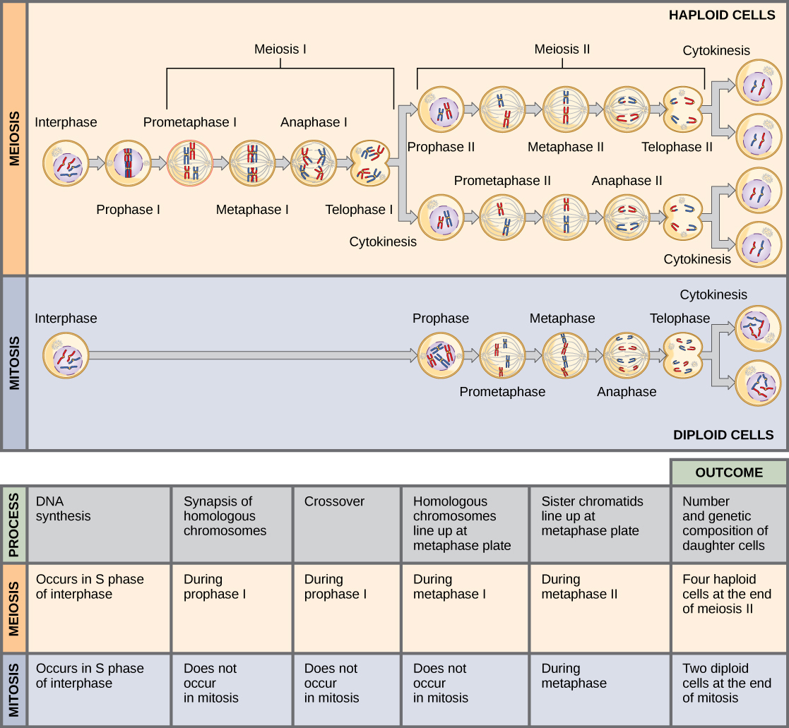 This illustration compares meiosis and mitosis. In meiosis, there are two rounds of cell division, whereas there is only one round of cell division in mitosis. In both mitosis and meiosis, DNA synthesis occurs during S phase. Synapsis of homologous chromosomes occurs in prophase I of meiosis, but does not occur in mitosis. Crossover of chromosomes occurs in prophase I of meiosis, but does not occur in mitosis. Homologous pairs of chromosomes line up at the metaphase plate during metaphase I of meiosis, but not during mitosis. Sister chromatids line up at the metaphase plate during metaphase II of meiosis and metaphase of mitosis. The result of meiosis is four haploid daughter cells, and the result of mitosis is two diploid daughter cells