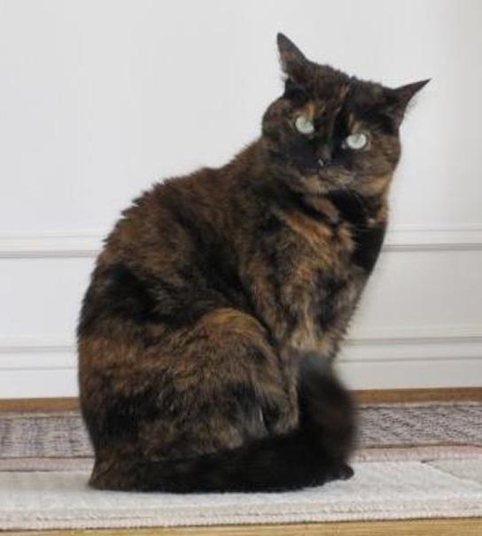 Photo of a tortoiseshell cat
