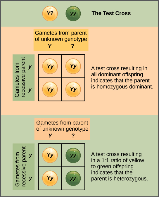 In a test cross, a parent with a dominant phenotype but unknown genotype is crossed with a recessive parent. If the parent with the unknown phenotype is homozygous dominant, all the resulting offspring will have at least one dominant allele. If the parent with the unknown phenotype is heterozygous, 50 percent of the offspring will inherit a recessive allele from both parents and will have the recessive phenotype