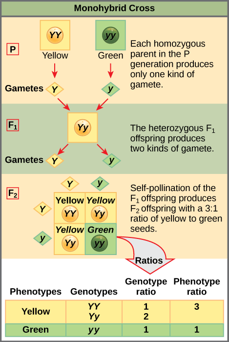 This illustration shows a monohybrid cross. In the P generation, one parent has a dominant yellow phenotype and the genotype YY, and the other parent has the recessive green phenotype and the genotype yy. Each parent produces one kind of gamete, resulting in an F_{1} generation with a dominant yellow phenotype and the genotype Yy. Self-pollination of the F_{1} generation results in an F_{2} generation with a 3 to 1 ratio of yellow to green peas. One out of three of the yellow pea plants has a dominant genotype of YY, and 2 out of 3 has the heterozygous genotype Yy. The homozygous recessive plant has the green phenotype and the genotype yy