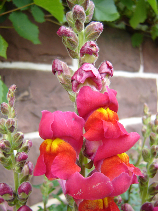 Photo is of a snapdragon with a pink flower