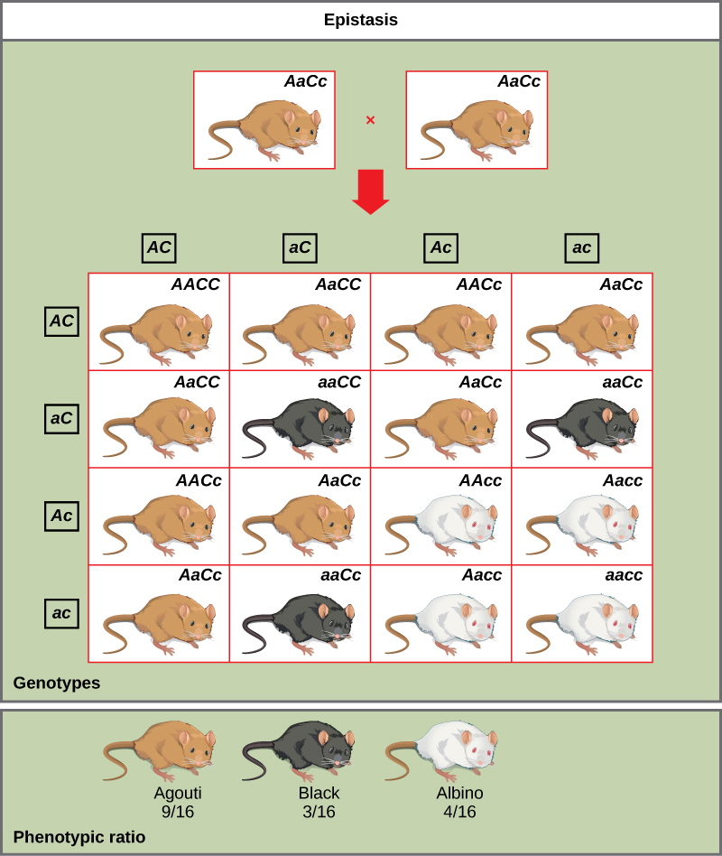 A cross between two agouti mice with the heterozygous genotype AaCc is shown. Each mouse produces four different kinds of gametes (AC, aC, Ac, and ac). A 4 × 4 Punnett square is used to determine the genotypic ratio of the offspring. The phenotypic ratio is 9/16 agouti, 3/16 black, and 4/16 white