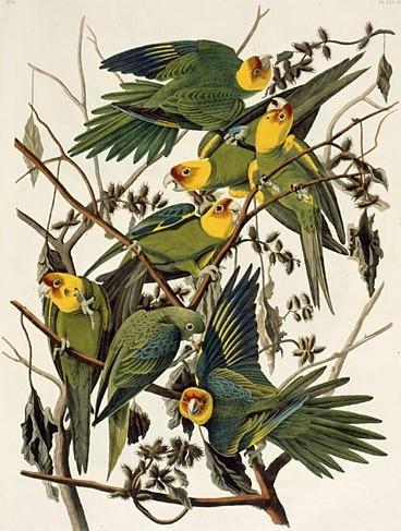 Audubon Carolina Parakeet
